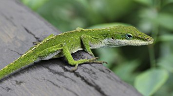 Anole_Lizard_Hilo_Hawaii_edit